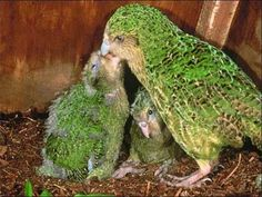 Conheça Kakapo - A Rara Ave da Nova Zelândia ~ Jual Fique Por Dentro de Tudo