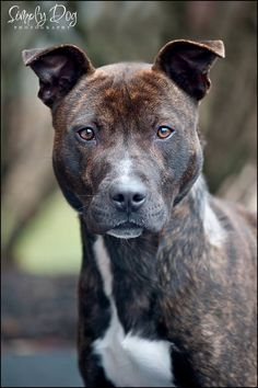 Adopted! Brawny - Pit Bull Terrier mix - Dublin, OH. 1 yr old