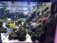BLOGbeitrag Fadenalgen im Meerwasseraquarium #AquariumWest  Premium-Aquariumbau #Meerwasseraquariumpodcast  # MarkusMahl  #aquariummuenchen #meerwasseraquarium #aquariumwartung #designaquarium #aquariumbau #meerwasseraquaristik #reeftank #reefbuilders #reefdesign #Aquacura #DasMeerwasseraquarium #Fadenalgen