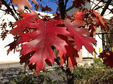 BALD:  Shrubby Red Oak, Quercus rubra - need the shrubby version!