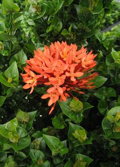 Ixora 'Siam Ribbon' (Ixora hybrid)a compact growing Ixora with small, ruffled leaves that grow tightly to the stems and add to its visual appeal. The vibrant coral-red flowers bloom in profusion during the warm summer months.