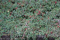 irga płożąca 'Streib's Findling' - Cotoneaster procumbens 'Streib`s Findling' | Katalog roślin - e-katalog roślin