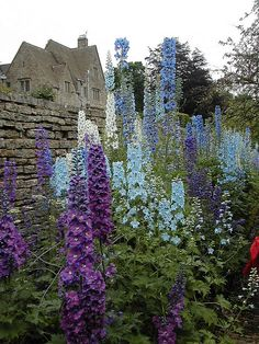 If my delphiniums got this tall we would have had a huge calamitous climate change... Just not enough moisture in the air and I can't over water them... I feed them and they do well, but not like this.   Delphiniums...Cotswold Farm, England!