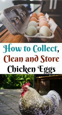 How to Collect, Clean and Store Chicken Eggs How to Collect, Clean and Store Chicken Eggs, Chickens, Easy Chicken Coop, Clean Chicken, Chicken Garden, Backyard Chicken Coops, Chicken Coop Plans, Fresh Chicken, Chicken Eggs, Farm Chicken, Chicken Pen