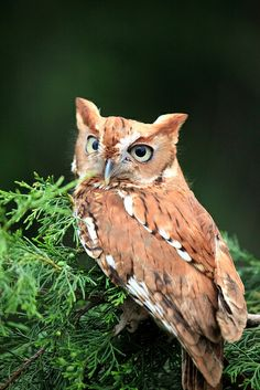 Eastern Screech Owl (Red-phase) | Flickr - Photo Sharing!