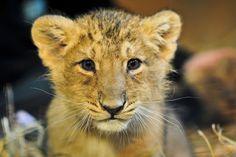 Critically Endangered | Critically endangered Asiatic lion cub ... | Felinidae--Wildcats of t ...