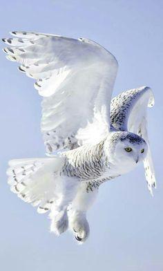 Such a beautiful snow owl in flight 《 ☆ ☆ 》 Lechuza Tattoo, Bird Species, Birds, Community, Google, Wild Animals, Snow, Beautiful, Owls
