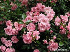 Light Pink Fairy Rose Google Image Result Plants Garden