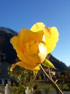 Жёлтая роза в ноябре😍🌹