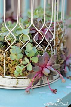 This is a gorgeous combination - beautiful old bird cage and the on-trend and colourful array of succulents. A great project and gift idea from Craftberry Bush: How to plant succulents in a birdcage