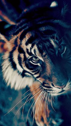 Bengal Tiger Closeup iPhone 6 wallpaper