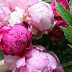 #ezflowers peonies