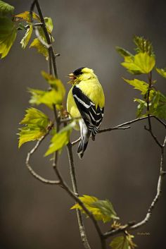 Goldfinch Suspended In Song Print by Christina Rollo.  All prints are professionally printed, packaged, and shipped within 3 - 4 business days. Choose from multiple sizes and hundreds of frame and mat options.