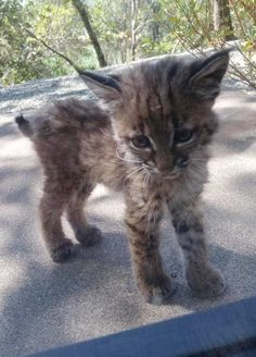 Bobcat Mom and Kittens Give Woman Surprise Visit on Her Doorstep - CatLove.co