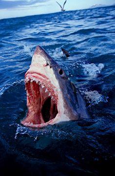 Great White Shark threatening South Africa by Brandon Cole Shark Bait, Shark S, Shark Week, Whale Sharks, Shark Pictures, Shark Photos, Hai Tattoos, Orcas, Save The Sharks