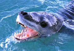 Leopard Seal Facts! - The leopard seal is a very powerful predator with its strong jaws and long canine teeth.