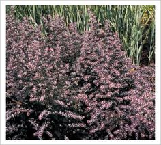"""aster lateriflorus """"Lady in black"""" pink flowers from mid - summer to mid- autumn and dark foliage."""