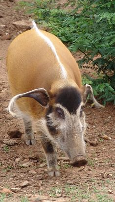 "Red river hog (Potamochoerus porcus), also known as the bush pig (but not to be confused with P. larvatus, common name ""bushpig""), is a wild member of the pig family living in Africa, with most of its distribution in the Guinean and Congolian forests. Unusual Animals, Rare Animals, Animals And Pets, Funny Animals, Strange Animals, Wild Creatures, All Gods Creatures, Beautiful Creatures, Animals Beautiful"