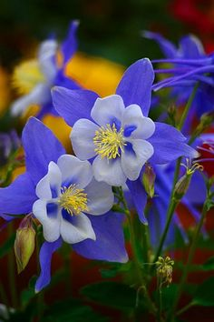 Colorado Columbine - by Lynn Bauer - Blue Columbine: The columbine (from the Latin word for dove, columba), is a circlet of petals thought to resemble doves. The blue columbine is a symbol of fidelity, and often appears in paintings of Mary. Unusual Flowers, Rare Flowers, Amazing Flowers, Pretty Flowers, Fresh Flowers, Purple Flowers, Wild Flowers, Beautiful Flowers Photos, Flowers Bunch