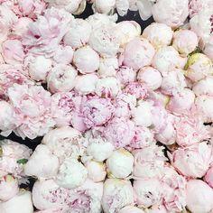 A sea of pink peonies via @kristenmarienichols