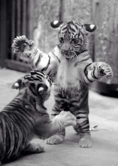 Image via We Heart It #animal #nature #tiger