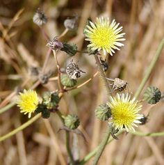 Sow Thistle (Sonchus Spp.) in Ontario. Young leaves edible raw but best boiled in 2 water changes.