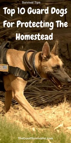 Survival Tips-Hands down these are the top 10 guard dogs.