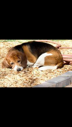 Senior beagle...as sweet as can be️