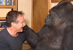 ::Koko the Gorilla Mourns Actor Robin Williams:: It's a comfort to know they had an encounter (documented on video) - two great souls. Robin Williams, so sorry for your pain. Koko Gorilla, Robin Williams Death, Robin Williams Friends, Robert Williams, Los Primates, Animal Intelligence, Amor Animal, Baby Sign Language, Actor