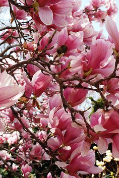 The saucer magnolia trees are in peak bloom in the Smithsonian Enid A. Haupt Garden!