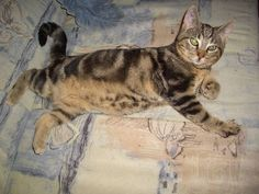 mein Kater Shorty