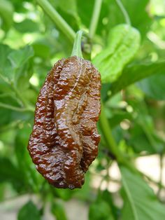 Buy Ghost Pepper Bhut Jolokia as Pepper Plants, Pepper Seeds and Fresh Peppers. Growers of the Worlds Hottest Peppers. Ghost Pepper Plants, Worlds Hottest Pepper, Types Of Tomatoes, Bhut Jolokia, Ghost Peppers, Pepper Seeds, Tomato Seeds, Stuffed Hot Peppers, Spicy Recipes