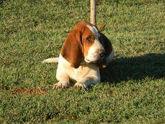 Love my Bassett Hound!
