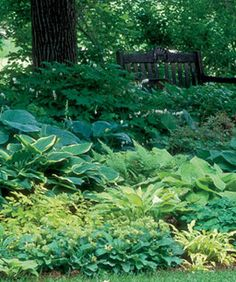 Gold works best when clustered into drifts that draw the eye from plant to plant. When gold hostas are sprinkled throughout a border, they make the composition look spotty. ~ links to great Fine Gardening article on designing with hostas