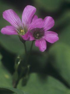Violet Wood Sorrel Flowers (Oxalis Violacea), Eastern North America by Leroy Simon
