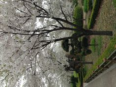 I enjoyed the beautiful cherry blossoms on my way to office