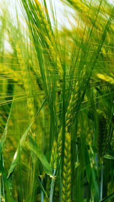 Wheat / #wallpapers #iphone