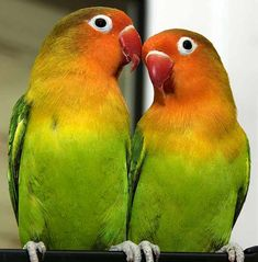 Birds from Exotic Places. Love Birds Pet, Cute Birds, Pigeon Pictures, Bird Pictures, Exotic Birds, Colorful Birds, Beautiful Birds, Animals Beautiful, African Lovebirds