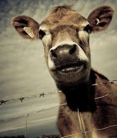 Bela vaca!