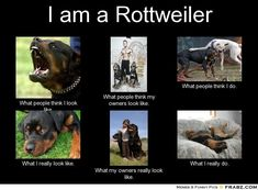 Rottweiler - ha ha love the couch surfing!
