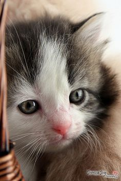 """""""A kitten is in the animal world what a rosebud is in the garden."""" --Robert Southey"""