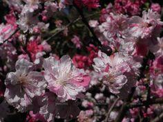 Prunus persica 'Versicolour' max height 3m flowering peach
