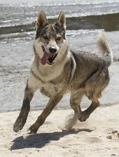 12 Best Wolf Hybrid puppies images in 2015   Puppies, Wolf
