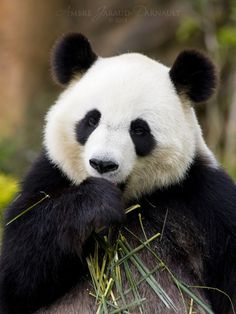 Panda sucking his thumb