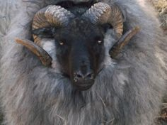 Icelandic sheep breeder in Oregon. Pictured is a Ram called captain Kirk
