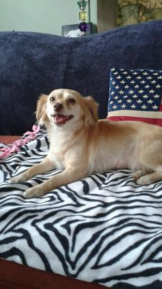 Canine Crusaders; Redondo Beach, CA. <3 My name is Ginger! I am a 2 year old Brittany Spaniel mixed with a Silky Terrier! Everyone says that is a great mix for a doggie! My coat is OH SO SOFT to the touch! I am a perfect little girl! I love to cuddle with you! I am great as a lap doggie! I am calm! I also love to play with other doggies and I am good with kitties as well! I love kids and people of all ages! I weigh under 20 pounds! I am great on a leash! Did I mention how sweet I am? I am…