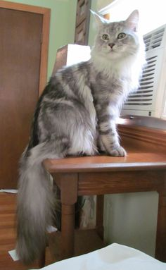 Silver Tabby Maine Coon http://www.mainecoonguide.com/health/