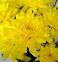 """CRISANTEMO.  El crisantemo es una de las flores mas cultivadas en el mundo, su popularidad ha crecido de tal manera que ahora es la indiscutible """"Reina de las Flores de otoño"""". Los siglos de crianza y cultivo cuidadoso de los jardineros japoneses han dado lugar a una amplia gama de colores, formas y tamaños. Hoy en día podemos encontrar crisantemos de una amplia gama de colores distintos, desde tonos de rosado, pasando por morados, rojos, amarillos, naranjas, color bronce, y blancos."""