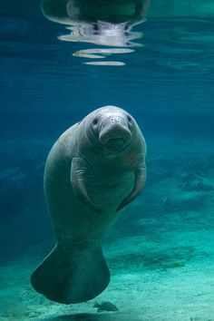 Manatee in Three sisters spring ... Brent Christensen