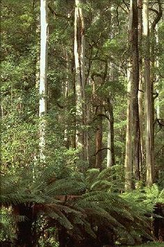 Victorian Ash, Swamp Gum, Tasmanian Oak or Stringy Bark (Eucalyptus regnans) is a native to southeastern Australia in Tas. & Vic.